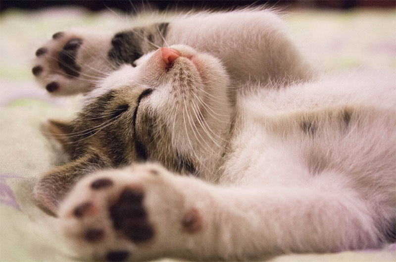 cute kitten falling asleep with paws and toe beans showing